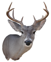 Coues Deer Mount